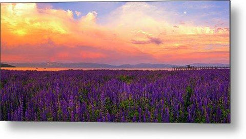 Tahoe City Lupine Sunset By Brad Scott - Metal Print