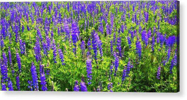 Windy Lupines By Brad Scott - Acrylic Print