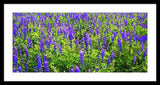 Windy Lupines By Brad Scott - Framed Print