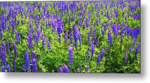 Windy Lupines By Brad Scott - Metal Print
