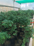 Blueberry Plants Imported from USA-(Biloxi Variety suitable for Hot-Warm Climate)2 yrs Old.