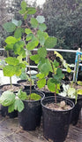 "Blackberry Plants 8""-12""- Imported from USA (Triple Crown,Tupe Varieties suitable for Indian Climate"