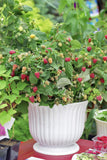 Raspberry Plants-Imported from USA (Heritage, Caroline, Autumn Britten) suitable for Indian Climate.( OUT OF STOCK)