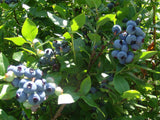 Blueberry Plants Imported from USA-(Misty suitable for Cool - Chill Climate)2 yrs Old.
