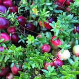 Cranberry Plants USA Imported (BenLear,Steven & Pilgrims suitable Warm-Chill Climate)6-9 months Old.