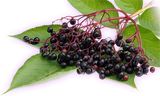 Berry Plants Combo Pack C-(Elderberry, Cranberry, Blueberry varieties for Hot-Warm Climate)