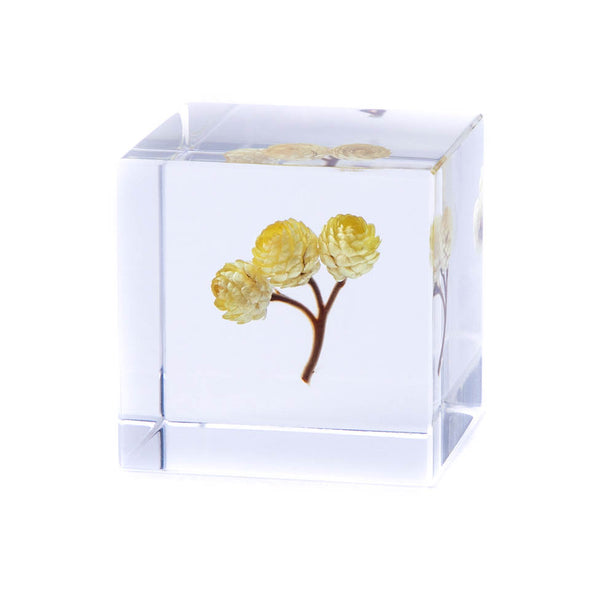 Sola Cube Immortelle - November 19 Market