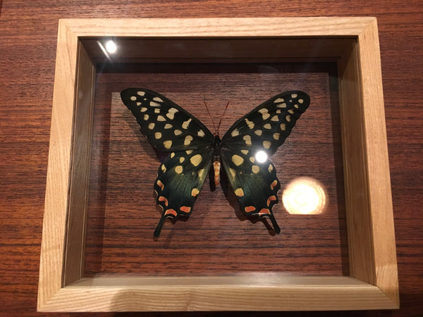 Butterfly - Papilio Antenor - Madagascar - November 19 Market