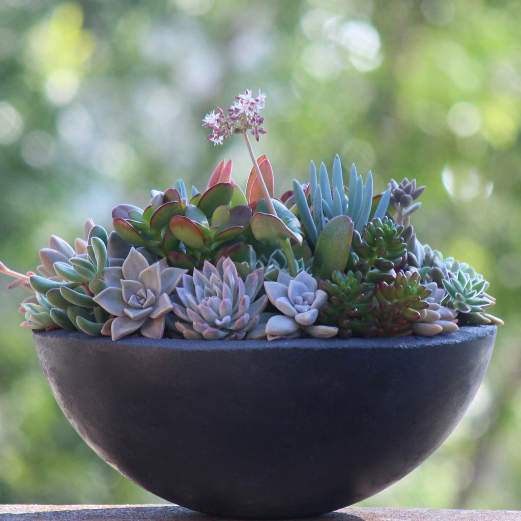 Charcoal Concrete Bowl with mixed Succulents