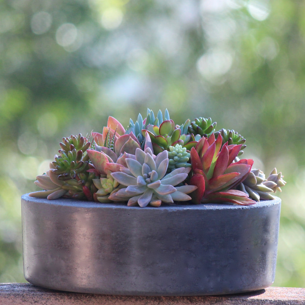 Charcoal Concrete Pot with mixed Succulents