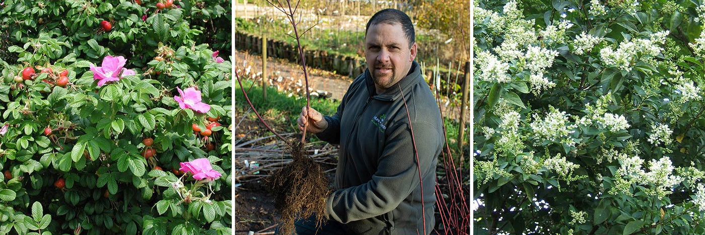 Planting and growing Mixed Hedges - Mattie Keane