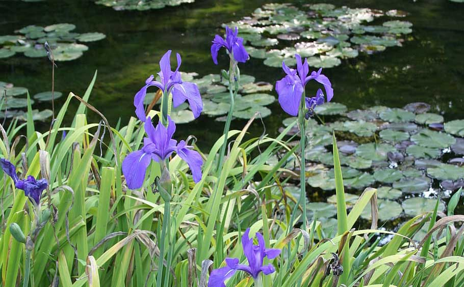 Choosing and growing water plants in a wildlife pond