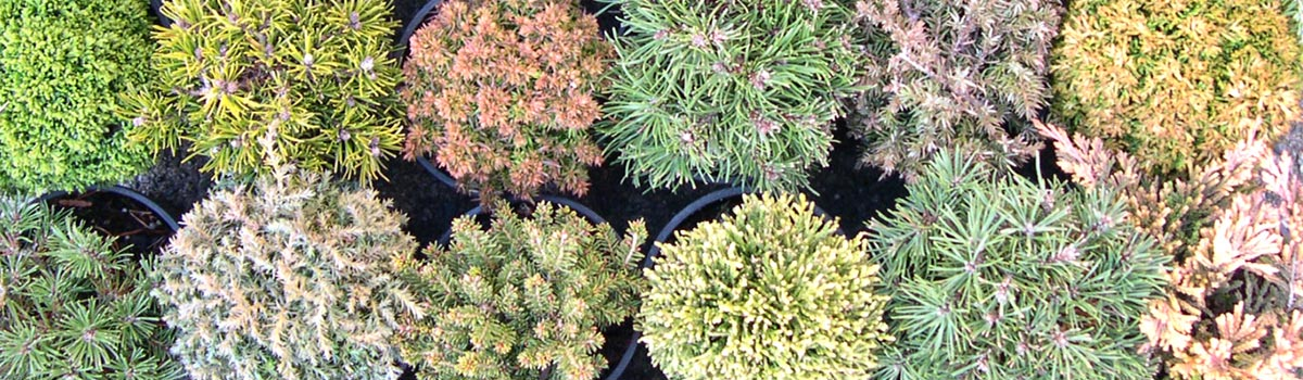 Miniature Conifers >2ft