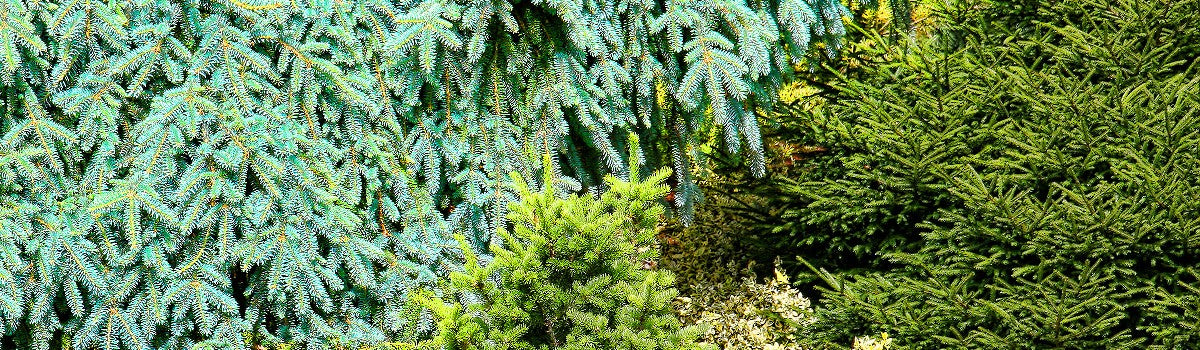 Conifers by Size