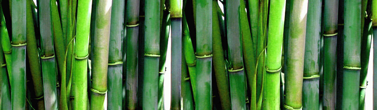 Bamboos – Future Forests