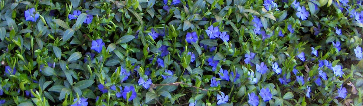 Plants for Groundcover