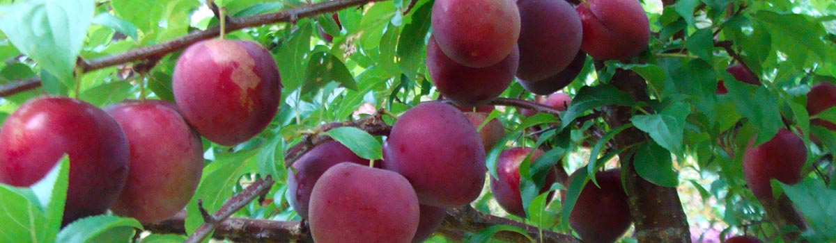 Plums, Gages & Damsons