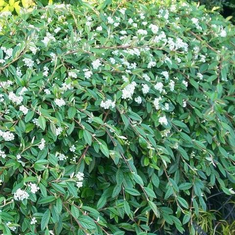 Cotoneaster salicifolius repens - Future Forests