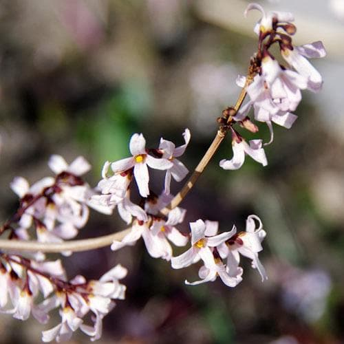 Abeliophyllum distichum - Future Forests