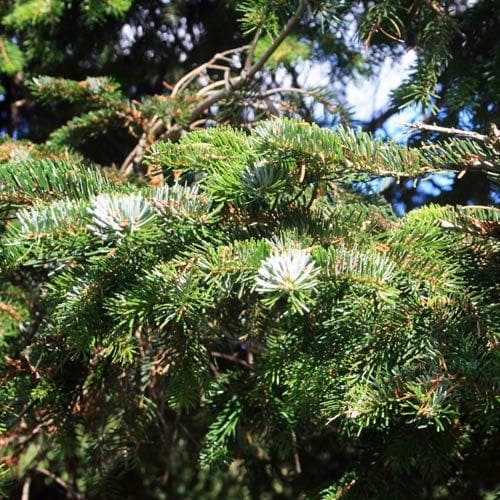 Abies nordmanniana - Nordmann Fir - Future Forests