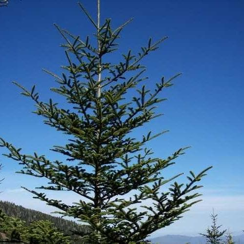 Abies fraseri - Fraser Fir - Future Forests