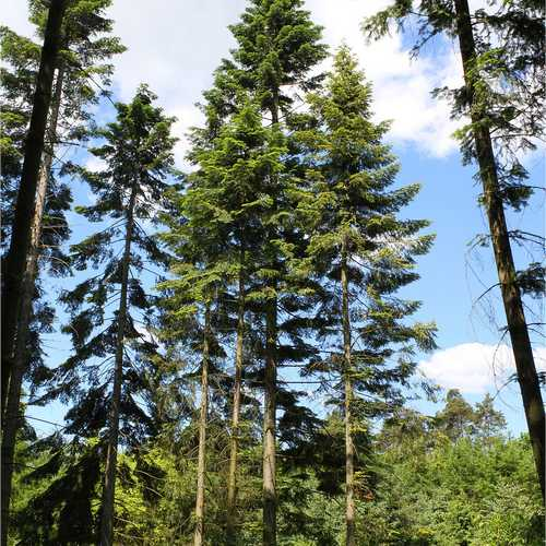 Abies grandis - Grand Fir - Future Forests