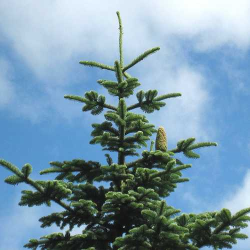 Abies nobilis procera - Noble Fir - Future Forests