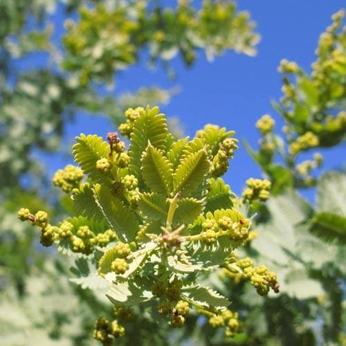 Acacia baileyana - Future Forests