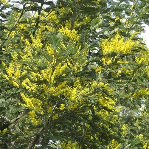 Acacia dealbata - Future Forests