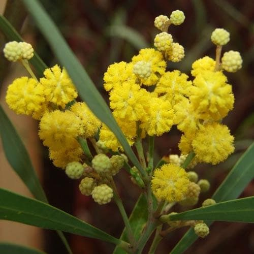 Acacia retinoides - Future Forests