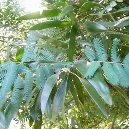 Acacia melanoxylon - Future Forests