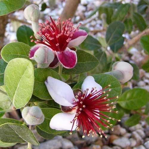 Acca sellowiana - Feijoa - Future Forests
