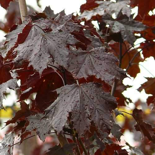 Acer platanoides Crimson King - Future Forests