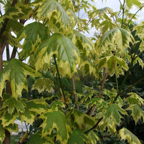 Acer platanoides Drummondii - Future Forests