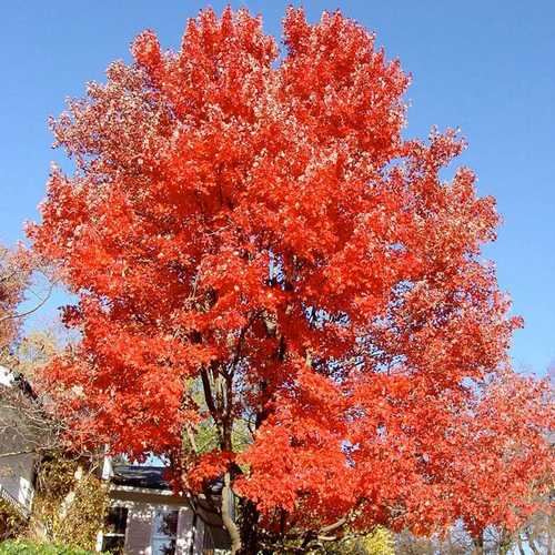 Acer rubrum Red Sunset - Future Forests