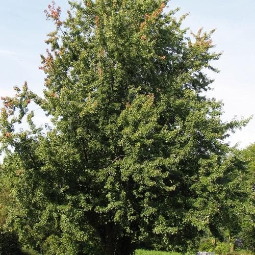 Acer saccharinum - Silver Maple - Future Forests
