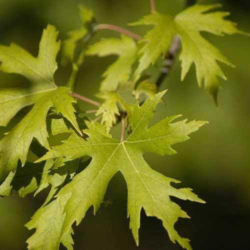 Acer saccharinum - Silver Maple 3-4ft Bareroot