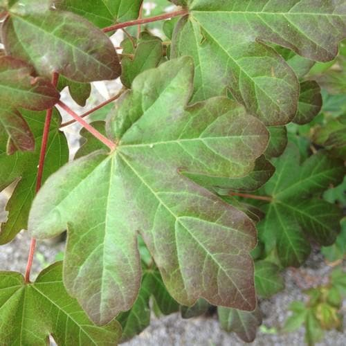 Acer Campestre Red Shine Future Forests