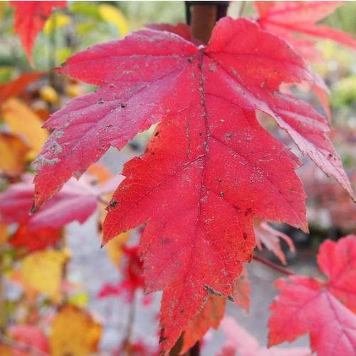 Acer x freemanii Autumn Blaze - Future Forests
