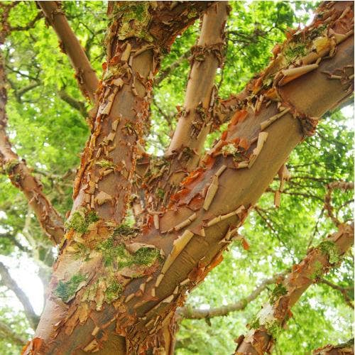 Acer griseum - Paperbark Maple - Future Forests