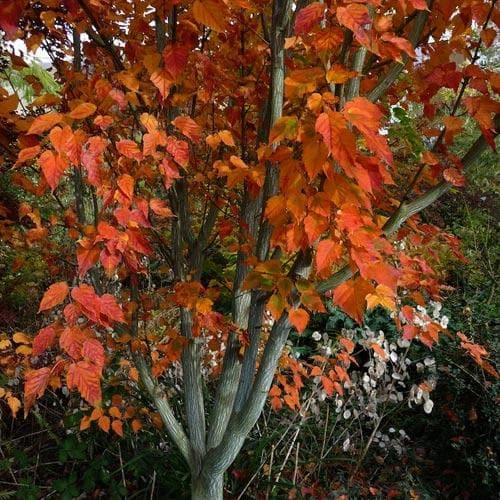 Acer grosseri var. hersii - Snakebark Maple - Future Forests