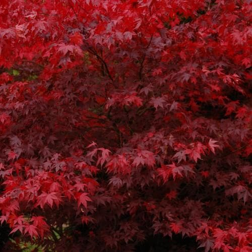 Acer palmatum Bloodgood - Future Forests