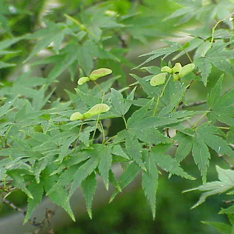 Acer palmatum - Japanese Maple - Future Forests