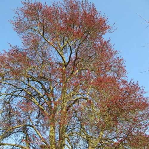 Acer rubrum - Canadian Maple - Future Forests
