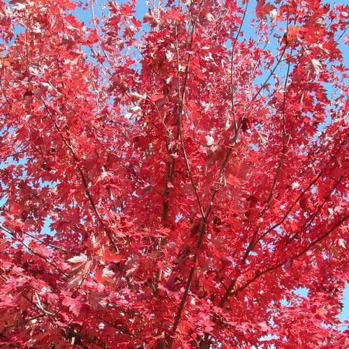 Acer rubrum Fairview Flame - Future Forests