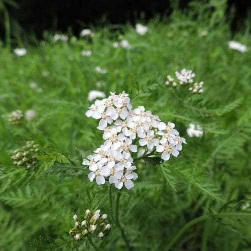 Achillea millefolium - Future Forests