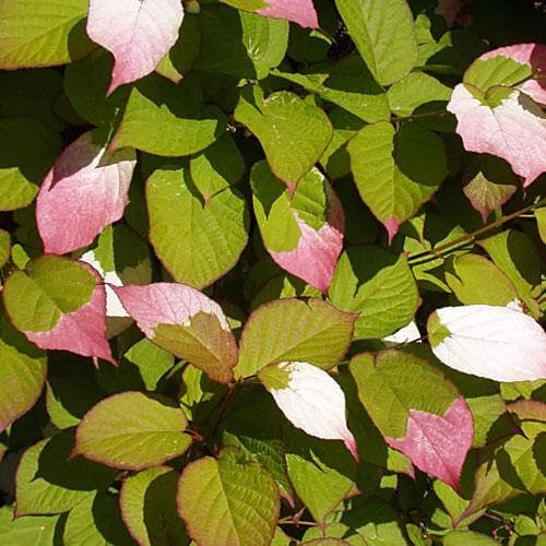 Actinidia Kolomikta - Future Forests