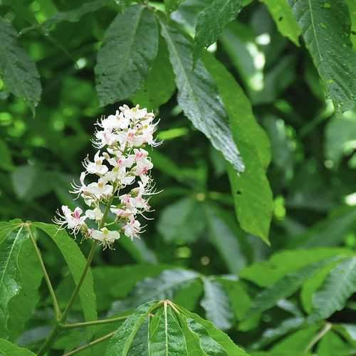 Aesculus Indica - Indian Horse Chestnut - Future Forests