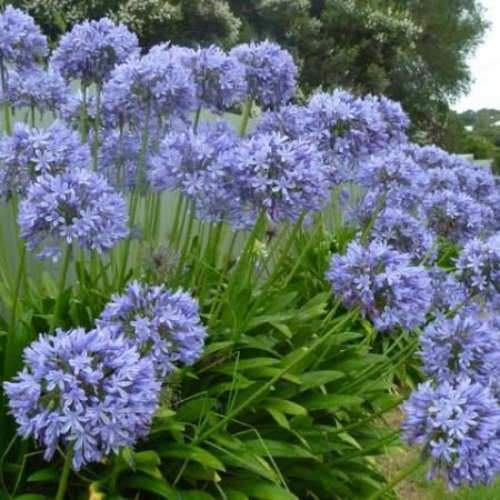 Agapanthus Blue Umbrella