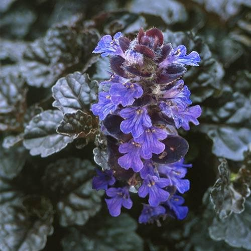 Ajuga reptans Evening Glow